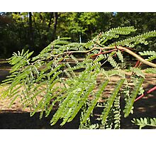 Selective focus on the young acacia branch with leaves and large spikes Photographic Print