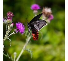 Butterfly And Thistle Photographic Print
