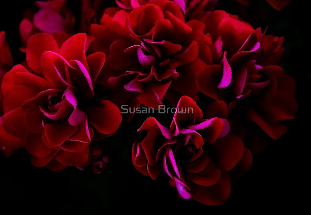 Spanish Rose by Susan Brown