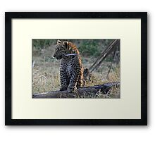Leopard Cub playing with a piece of bark Framed Print