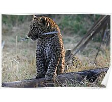 Leopard Cub playing with a piece of bark Poster