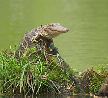 Baby Gator crawl up on a Stump by imagetj