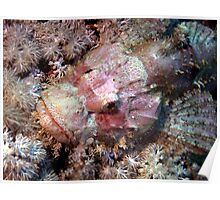 Camouflaged Pink Scorpion Fish in the Red Sea Poster