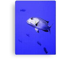 Bigeye Emperor Fish in the Red Sea Canvas Print