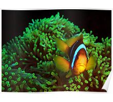 Anemone Fish in Green Anemone Poster