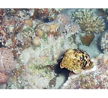 Baby Cuttlefish and Hard Coral Photographic Print