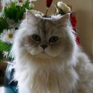 Elliott (Ragdoll/Chinchilla) by Lou Wilson