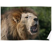 Territorial Roar - Male Lion Poster