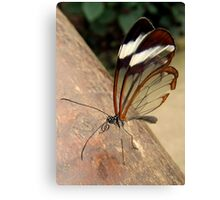 Glasswing Butterfly (G-clef proboscis) Canvas Print