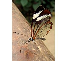 Glasswing Butterfly (G-clef proboscis) Photographic Print