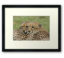 Cuddling in the rain - Cheetah brothers Framed Print