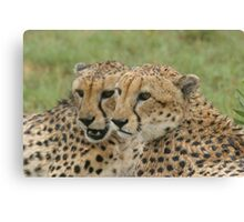 Cuddling in the rain - Cheetah brothers Canvas Print