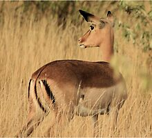 """Gentle Ewe"" - Impala ewe - Kruger Nat. park by Sandy Beaton"
