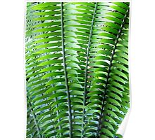 Encephalartos woodii / Woods cycad - Kew Gardens Poster