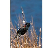 Red-winged Blackbird on Cattail  Photographic Print