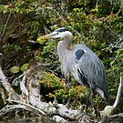 Great Blue Heron on Log by Randall Ingalls