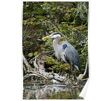 Great Blue Heron on Log Poster