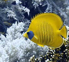 Butterfly Fish Over Fire Coral by SerenaB