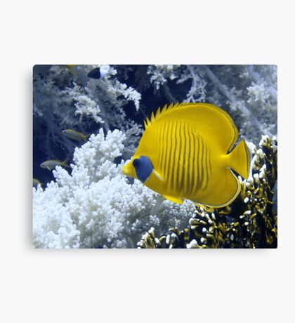 Butterfly Fish Over Fire Coral Canvas Print