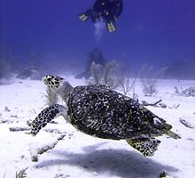 Divers Watching Hawksbill Turtle by SerenaB