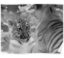 Tiger cubs at play Poster