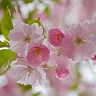 Cherry-blossom by cloud7