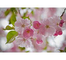 Cherry-blossom Photographic Print