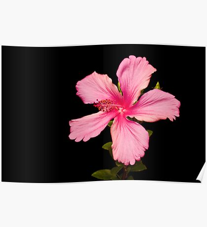 Black and Pink Hibiscus Poster