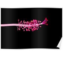 Pink Hibiscus Stamen Poster
