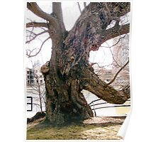 Willow tree on the banks of the Rideau River, Ottawa Poster
