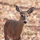 Whitetail Deer by Karl R. Martin