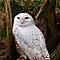 Birds In The Spotlight - Owls