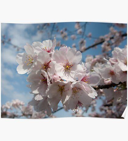 Cherry Blossom Japan Poster