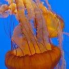 Jellies by Barbara  Brown
