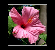 Pink Hibiscus by Rose Santuci-Sofranko