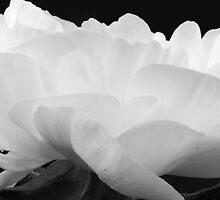 White buttercup II by bij0ux