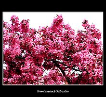 Crab-apple Blossoms by Rose Santuci-Sofranko