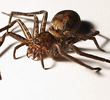 Australian Huntsman (Family Sparassidae) by Chris Westinghouse