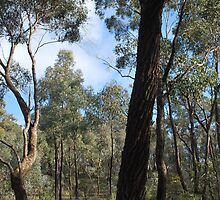 Tall Ironbark in the Whipstick by Lozzar Landscape
