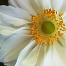 White Anemone by Lena Weiss
