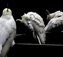 Cockatoo Party 3 by martyj