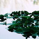 Water Lilies Reflections by goldnzrule