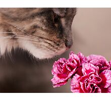 Curiosity - Maine Coon cat and flower Photographic Print
