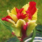 Spring Tulip by klarutshka