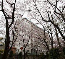 Flowers: Sakura on roadside by adpixels
