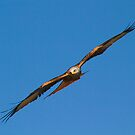 Red Kite 3 by SWEEPER