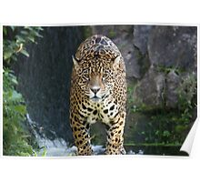 Male Leopard Poster