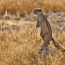 Cape Ground Squirrel (Xerus inauris) by Konstantinos Arvanitopoulos