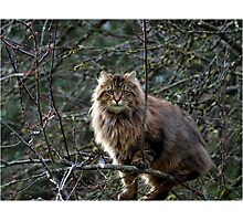 Maine Coon Tabby Cat Photographic Print