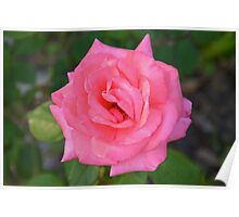 Pink rose with diamond-dust dew Poster